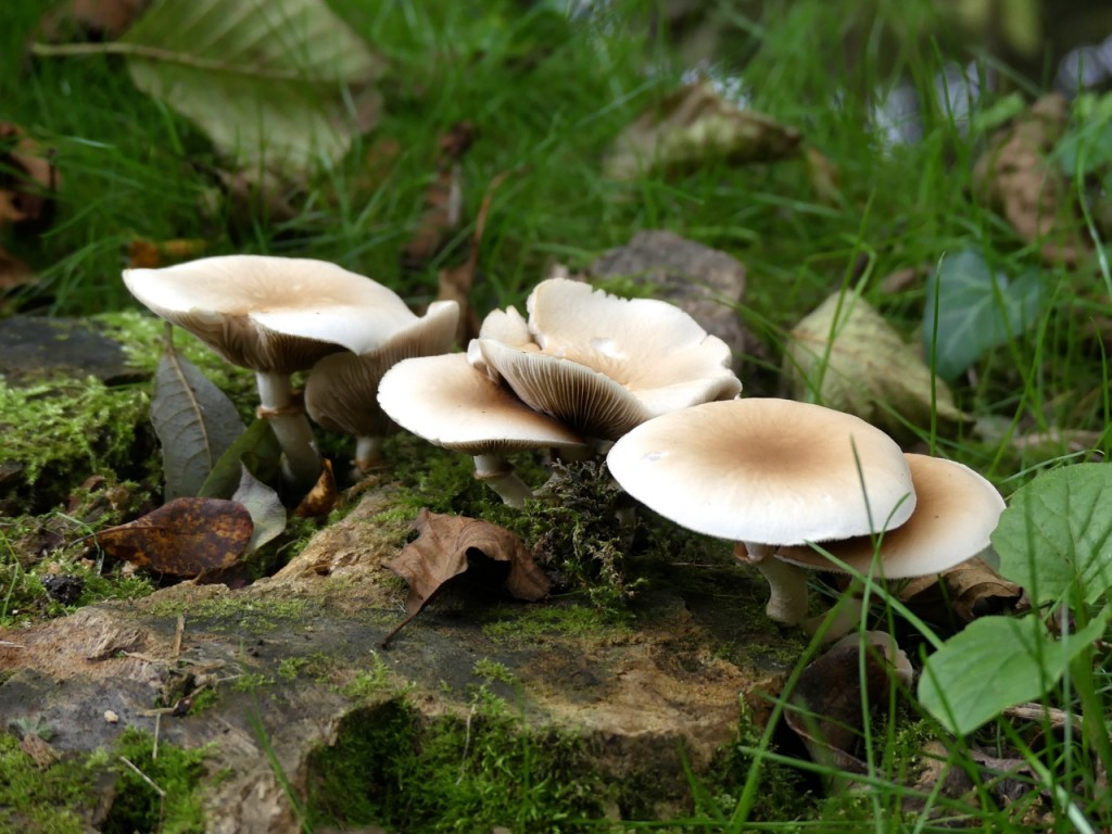 Mushrooms, country lane, Tauxigny